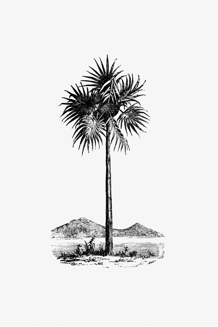 Vintage Palm tree engraving